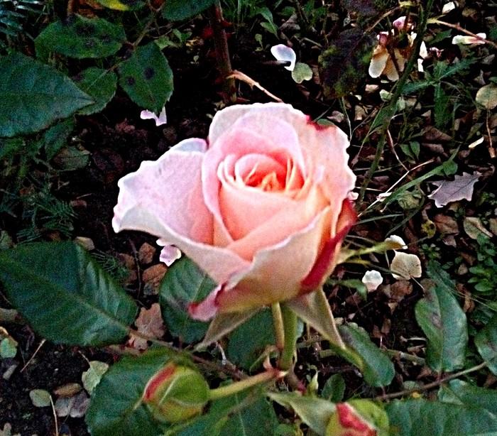 Розовая парковая роза в холодную погоду